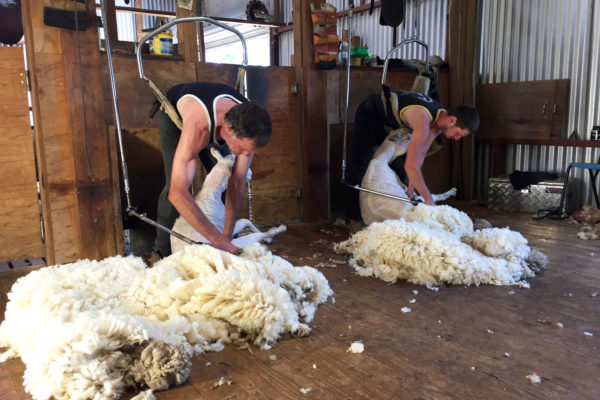 Bushfield-Farm-Wedding-Corporate-Special-Event-venue--Shearing-demonstration